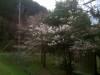 Sakura090325